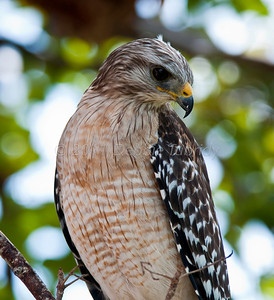 Red-Shouldered Hawk Flamingo, Everglades National Park Florida © 2011