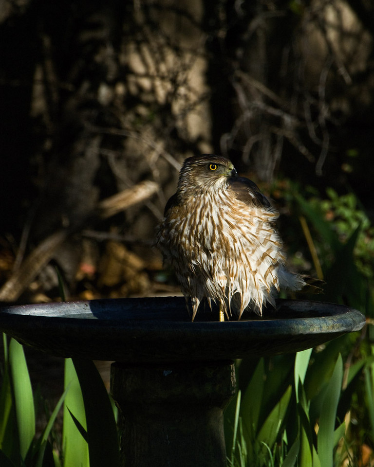 April 2008<br /> <br /> Splish Splash just takin a bath 3.  <br /> <br />  I guess this is a Coopers Hawk near as I can tell.