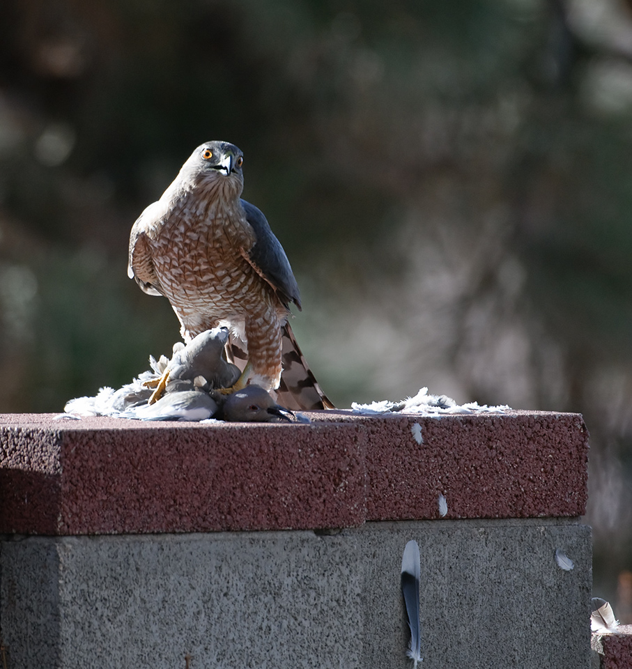 "Young Coopers Hawk feeding on a Dove. Little burned out on the edges but could not get any better due to time of day.  He must have sat there for 20 minutes waiting for his prize to expire. And we think we have it rough. Original is maxed for 21"" monitor."