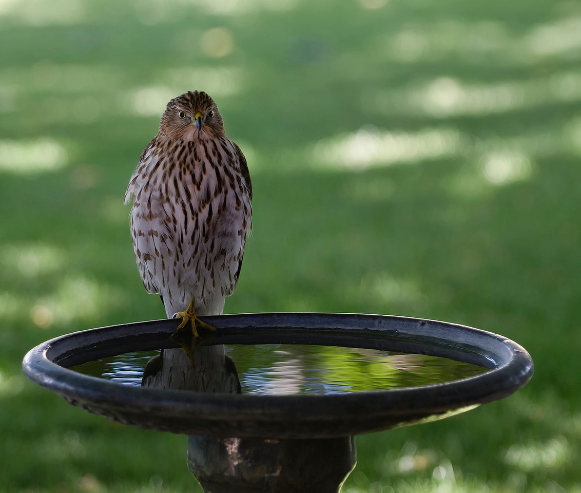 Coopers Bird Bath<br /> <br /> I just happened to look out the window yesterday (101710) and low and behold this Coopers Hawk was in the bird bath on the patio. Amazes me how they almost always tuck one leg up and balance on the other. It stayed around on the bath, for about 30 minutes, looking at all the birds and taking an occasional drink and finally a dip in the water. I was shooting through a dirty double pane window {again).<br /> <br /> Best viewed in 2X and 3X.