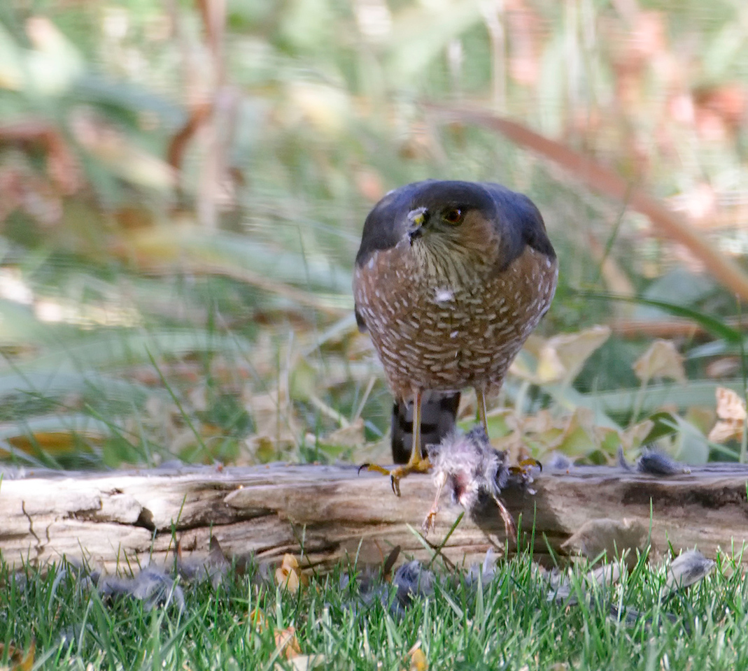 Full Service Hangout<br /> <br /> 11-14-10 (taken 11-11)<br /> <br /> Came home from an MRI on Thursday morning and spotted this adult Coopers, or is it a Sharp Shinned, having a morning snack. I guess he likes my yard too. The hawk in the bird bath is a juvenile Coopers. The hawks in my neighborhood are many and they have a special preference to my yard. Must be the trees and the thousands of Dove.<br /> <br /> The quality of this image is poor. Best I could do at 30 yds through a dbl pane window. Caused the weird lines in the bokeh and lots of distortion.