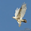 lucistic Red tailed hawk