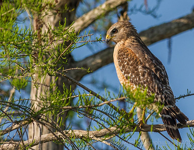 Observation of a Red Shouldered Hawk Fakahatchee Florida © 2014