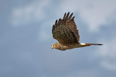 On The Prowl Female Northern Harrier Fly-By Green Cay Wetlands, Delray Beach, Florida © 2012