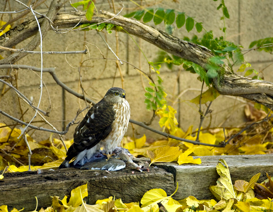 Coopers Hawk dining on a dove.
