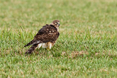 Northern Harrier Hunting Viera Wetlands Viera, Florida © 2013