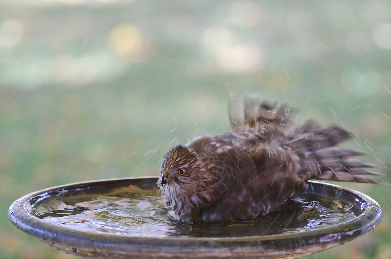 11-20-10<br /> <br /> Ahhh that feels good!!  Oh yeah...rock dem waves.<br /> <br /> Still have no idea what happened to the bird bath yesterday. Just glad it wasn't broken. They are expensive to replace.<br /> <br /> Edit: Obviously this requires some attention, and frequent checking of the bath, or you miss the best moments.<br /> Sometimes chicken, sometimes feathers. LOL