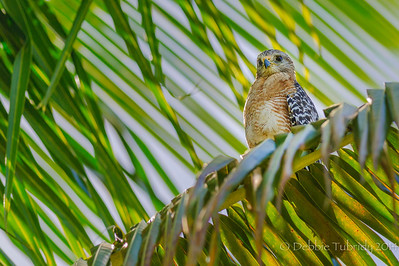 Red Shouldered Hawk in the Palm Fronds Flamingo Campground Everglades National Park, Florida © 2014