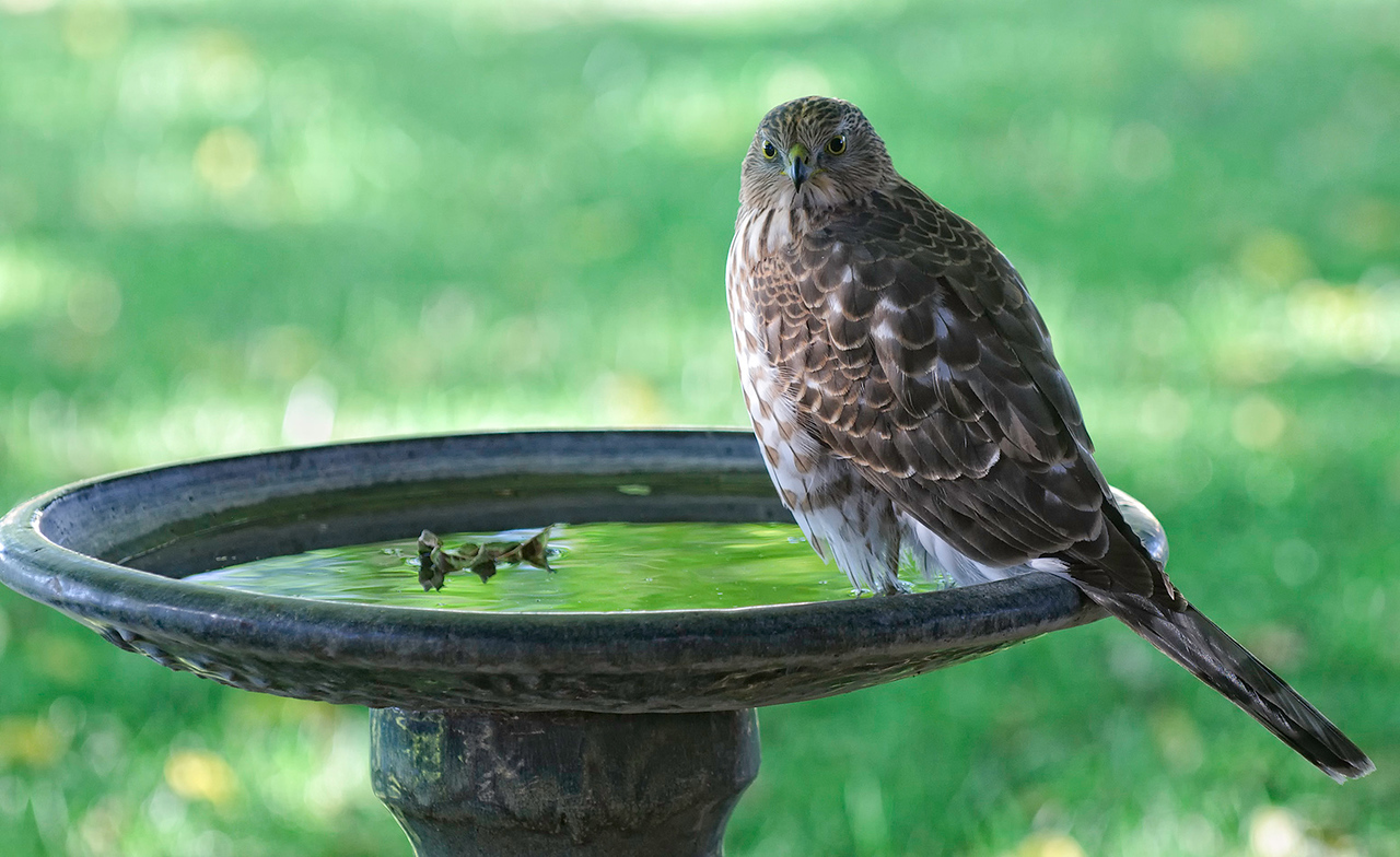 "Favorite Bird Bath<br /> <br /> 11-13-10 <br /> <br /> This was a few days before the moon and his second visit in a week. He's becoming a regular, at least until all the leaves are gone from the trees.<br /> I really need to clean the window.<br /> <br /> In answer to Chika's ""He came back to your yard!"" More to follow tomorrow and then a new subject.<br /> <br /> A little under the weather today. :~("