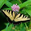 Tiger Swallowtail on Swamp Milkweed