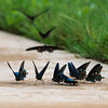 Pipevine Swallowtails puddling