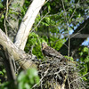 Red-shouldered Hawk on nest wth 2 chicks