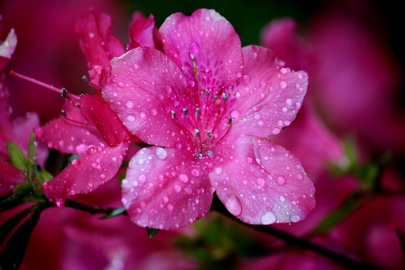 Azaleas in the Rain