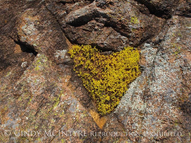 Sedum heart, Wichita Mts OK (1)
