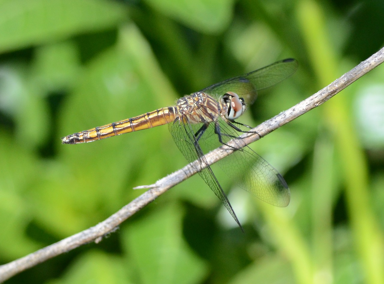 I couldn't resist showing a couple more shots of this dragonfly.