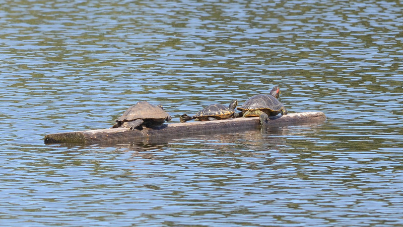 Just a usual lazy day in the sun for these turtles.  Bob Wisecarver suggested anchoring some logs out in the lake and turtles and birds have been appreciatively of his idea.  The turtle on the right is showing off his colorful knickers.