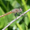 If you can identify this dragonfly or one of the other dragonflies and damselflies in this gallery, please leave me a comment.