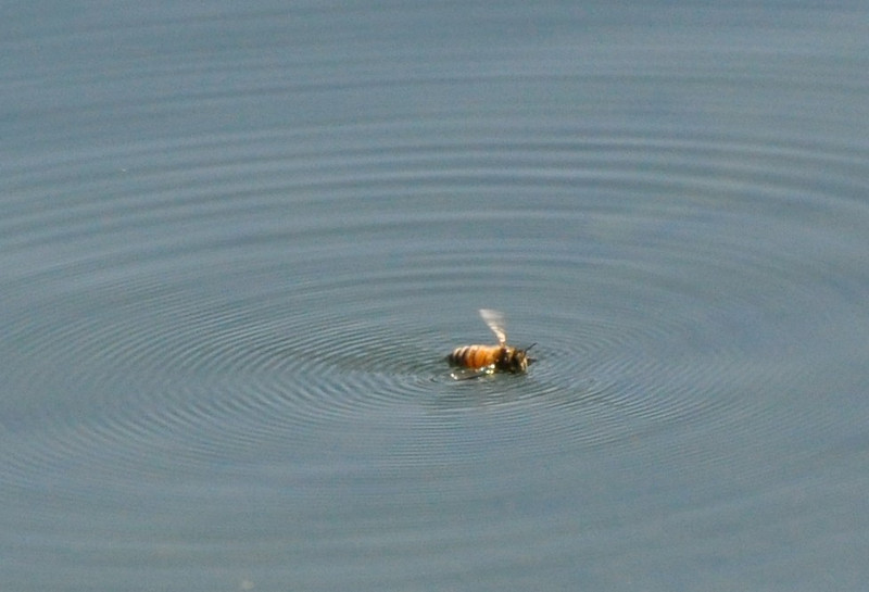 I noticed some motion with my peripheral vision while I was standing at the edge of the lake looking for birds.  This bee was in trouble, stuck on the surface of the water.