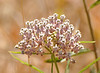 A closeup of a milkweed flower.  When you see a magnified view of this flower, you notice a whole new level of structure.