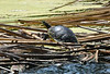 The turtle was quite cooperative. It sat on a raft of reed stems while I took pictures. I have some lessons to learn about getting sharp pictures in perfect focus at high zoom settings.