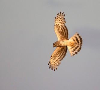 Immature male Hen Harrier.