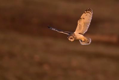 Short Eared Owl hunting.