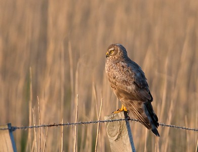 Immature male Hen Harrier.