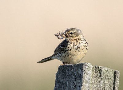 Meadow Pipit.
