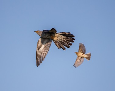 Cuckoo in flight under attack from Meadow pipit
