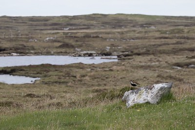Golden Plover in habitat.