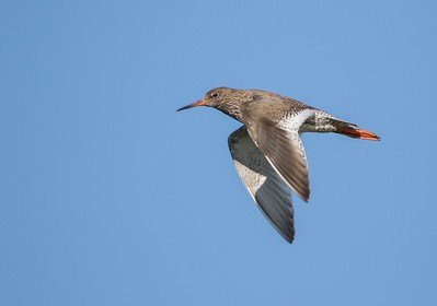 Redshank in flight.