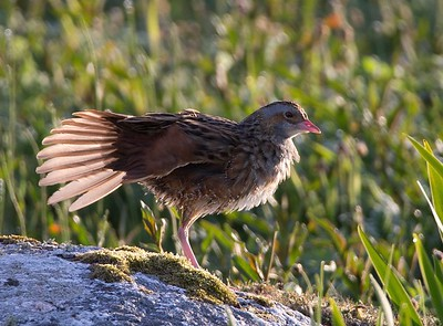 Corncrake stretching in morning light.