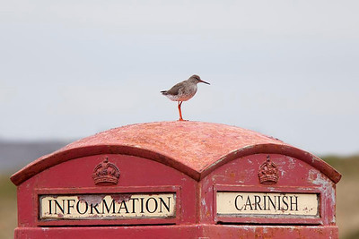 Redshank on telephone box