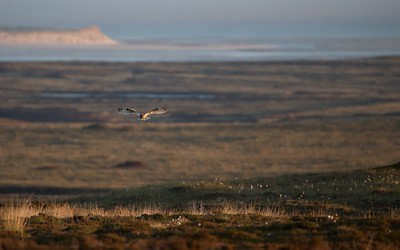 Short Eared Owl hunting in evening.