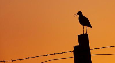 Redshank calling at dusk