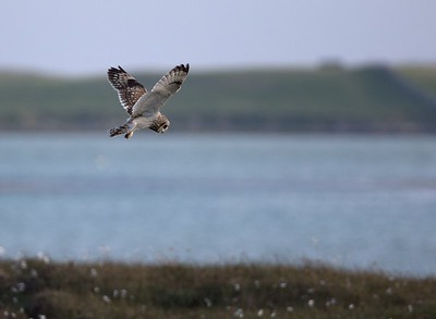 Short Eared Owl hunting.