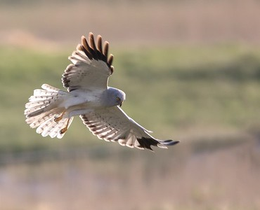 Male Hen Harrier.