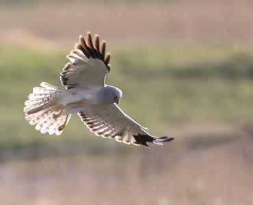 Male Hen Harrier.