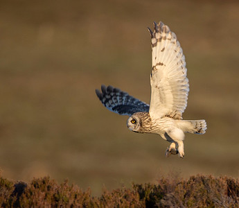 Short Eared Owl with vole.