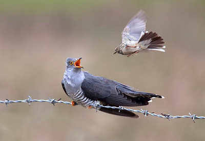 Cuckoo under attack from Meadow pipit.