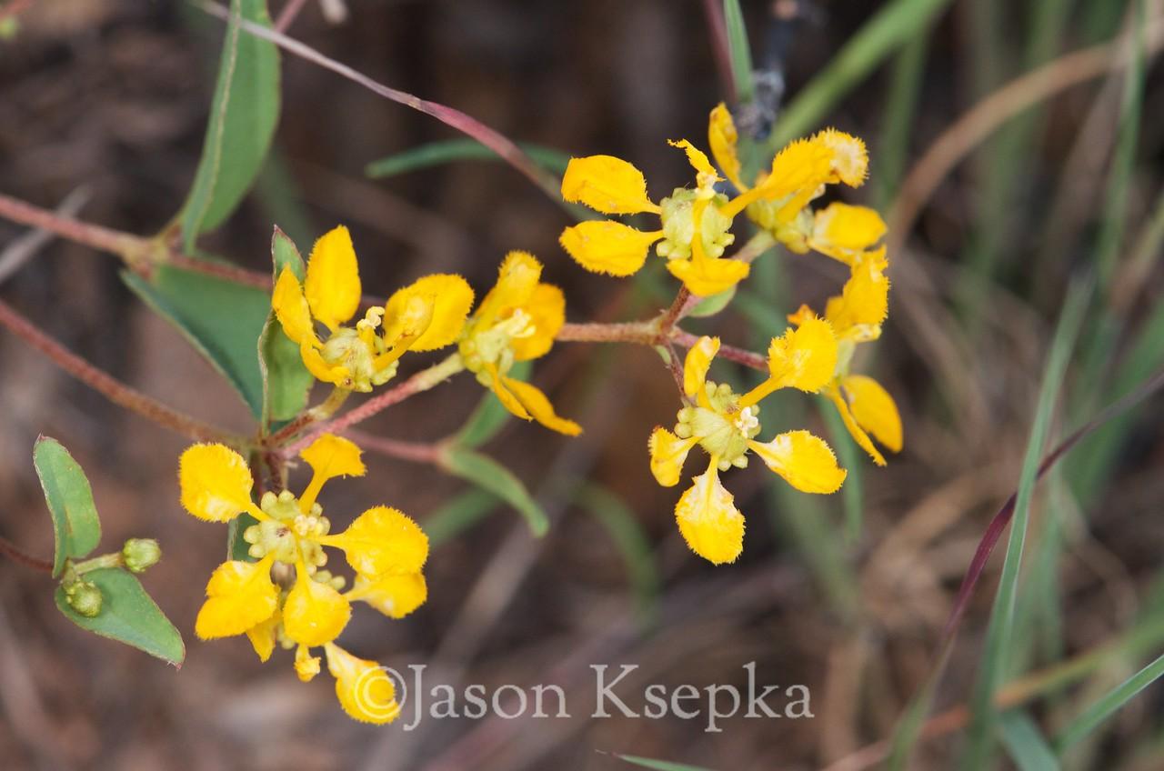 Aspicarpa Or Janusia; Jeff Davis County, Texas 2014-07-26   1