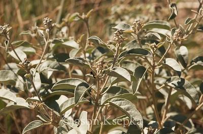 Croton sp; Jeff Davis County