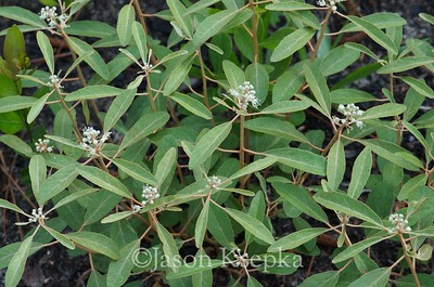 Croton sp; Okaloosa County, Florida