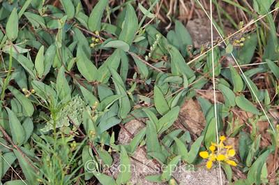 Aspicarpa Or Janusia; Jeff Davis County, Texas 2014-07-26   3