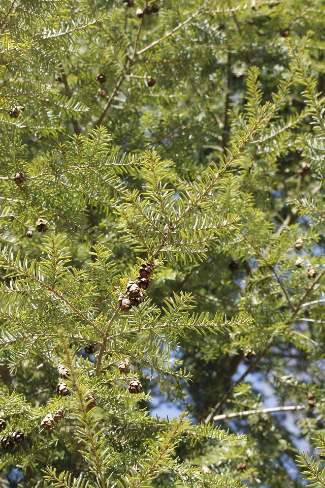 some of the Eastern Hemlocks are hundreds of  years old
