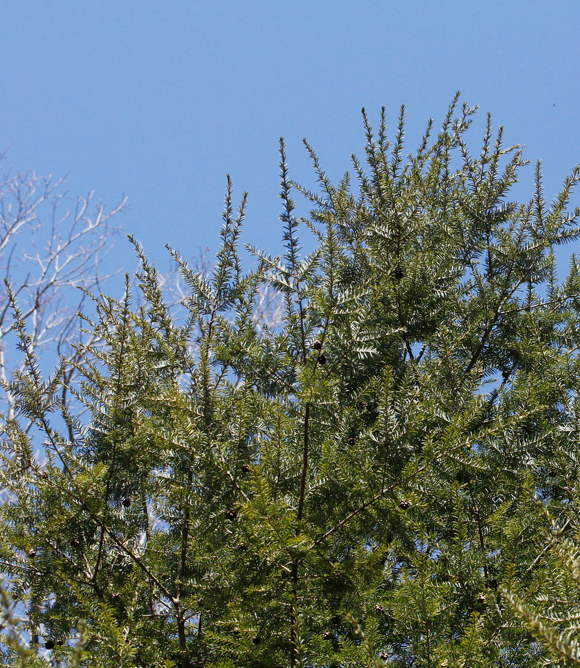 Hemlocks are currently being threatened by the woolly adelgid, a sap-sucking bug accidentally introduced from East Asia to the United States in 1924
