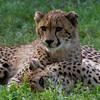 Image of two cheetahs (Acinonyx jubatus) taken at the Henry Doorly zoo in Omaha, Nebraska August 2011.