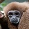 Image of Gibbon taken at the Henry Doorly zoo in Omaha, Nebraska August 2011.