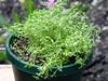 <b>Thyme</b> <i>(Thymus vulgaris)</i>  (October 2, 2005)