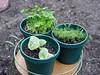 <b>Cuban Oregano or Spanish Thyme</b> <i>(Plectranthus amboinicus)</i>, <b>Parsley</b> <i>(Petroselinum crispum)</i>, <b>Dill</b> <i>(Anethum graveolens)</i> (September 4, 2005)